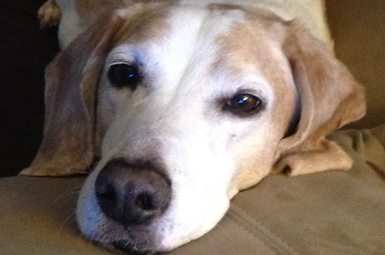 Senior Dogs at Arizona Beagle Rescue Get Grant for Golden Years